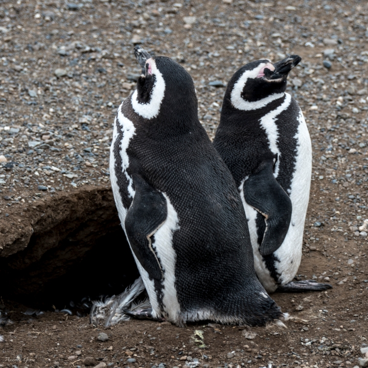 magellanic_pinguins
