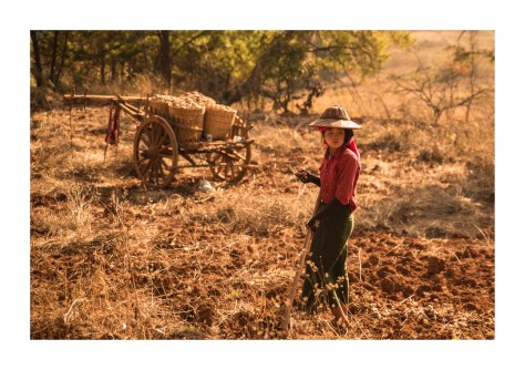 Ginger_farm_harvest